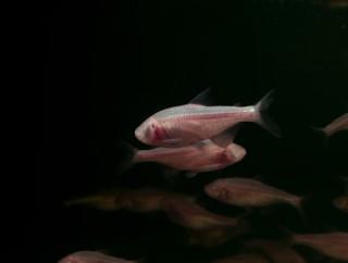 Blinder Höhlensalmler - Astyanax mexicanus