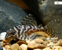 L66 King Tiger Pleco - Hypancistrus spec. - DNZ 6-7 cm