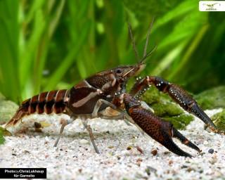 Procambarus versutus black