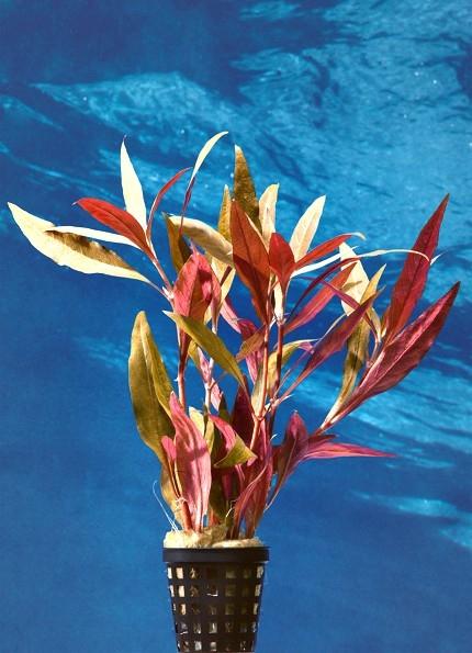 Schmalblättriges Papageienblatt, Alternanthera reineckii