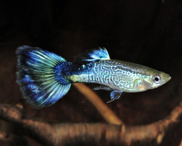 """Guppy männlich """"cobra blue"""" - Poecilia reticulata"""