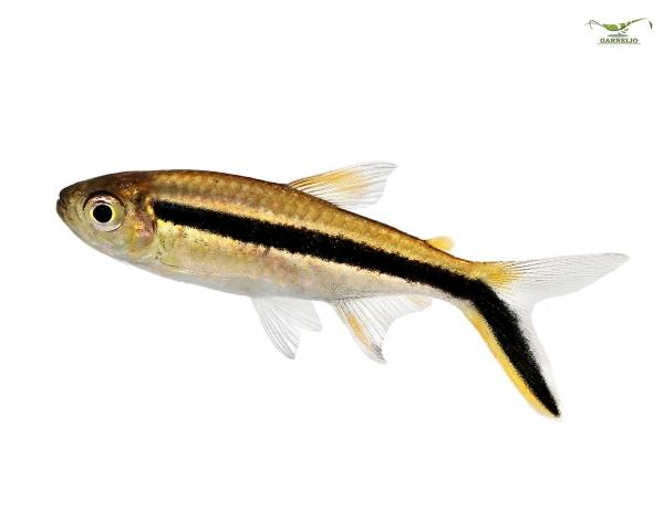 10x Schrägschwimmer -  Thayeria boehlkei