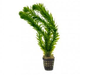 Dichtblättrige Wasserpest - Egeria densa - NatureHolic Plants - Topf