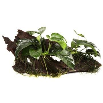Zwergspeerblatt - Anubias barteri var. nana - Tropica Pflanze auf Wurzeln
