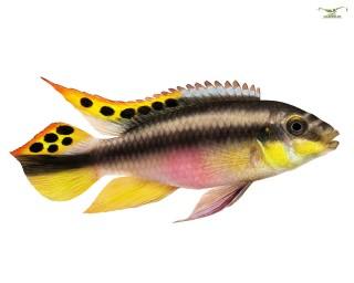 2 x Purpurprachtbarsch - Pelvicachromis pulcher - DNZ Pärchen