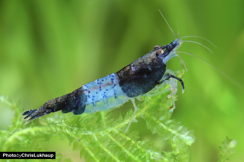 Die Carbon Rili Garnelen wird oftmals auch Black Rili Shrimp genannnt