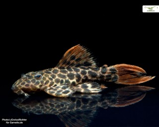 L114 - Leopard Kaktuswels - Pseudacanthicus cf. leopardus - 4-6cm