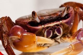 Indonesische Riesenlandkrabbe - Cardisoma carnifex