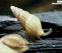 Elfenbein Raubschnecke - Clea helena (Anentome helena)