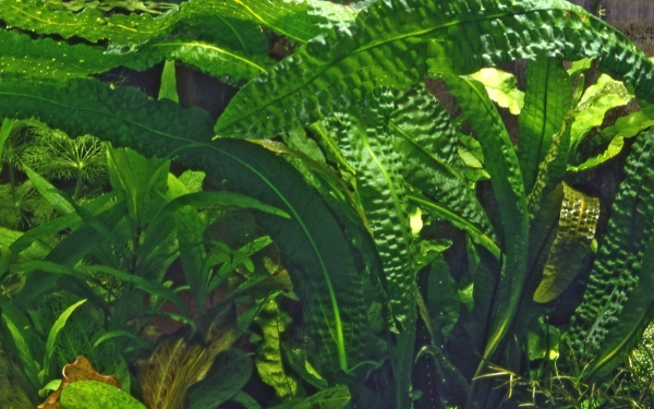 Aponogeton boivinianus - Knolle