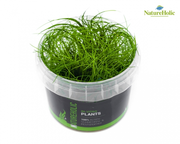 Eleocharis acicularis - NatureHolic InVitro
