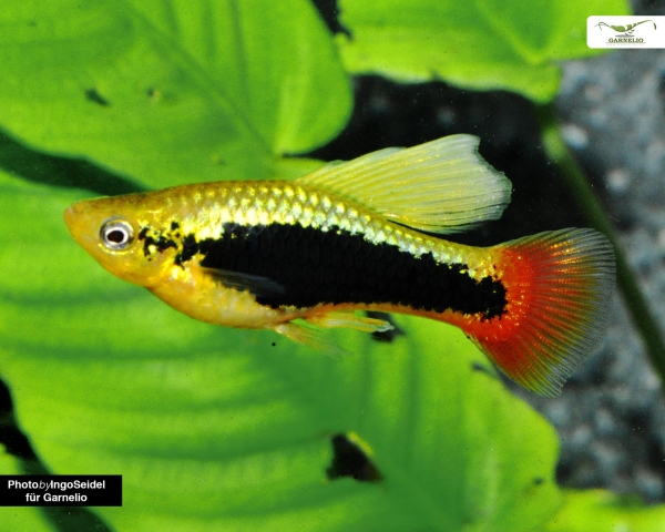 "Papageienplaty ""Hawaii - hochflosse"" - Xiphophorus variatus"