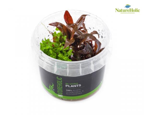 Alternanthera reineckii Mini & Micranthemum Monte Carlo - NatureHolic InVitro