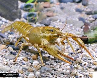 Galizische Sumpfkrebs - Pontastacus leptodactylus