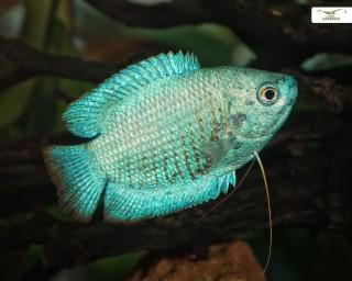 2x Blauer Zwergfadenfisch - Trichopodus lalius - Pärchen