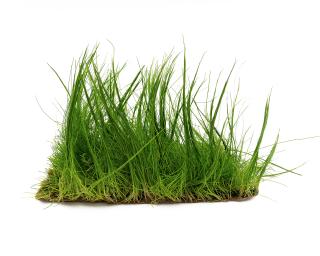 Zwergnadelsimse - Pflanzen Matte - Eleocharis parvula - 20x15 cm