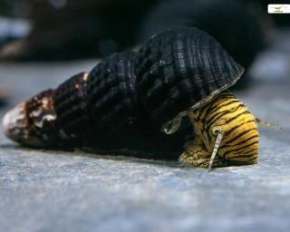 Yellow Mini Tylo - Tylomelania spec. mini Yellow