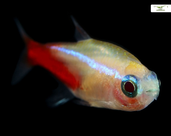 Neon gold DNZ - Paracheirodon innesi