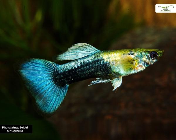 """Guppy männlich """"neon blau"""" - Poecilia reticulata"""
