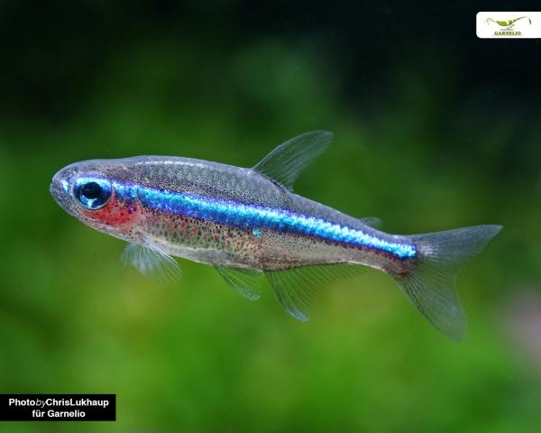 10 x Blauer Neon - Paracheirodon simulans