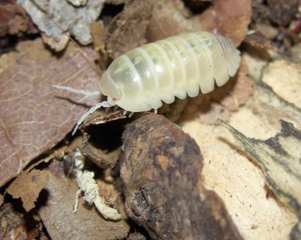 "Zuchtansatz - Rollasseln weiß (Armadillidium spec. ""Albino"") - Lebendfutter - 110 g"