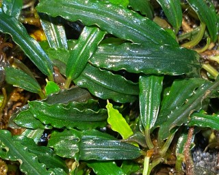 Bucephalandra spec.