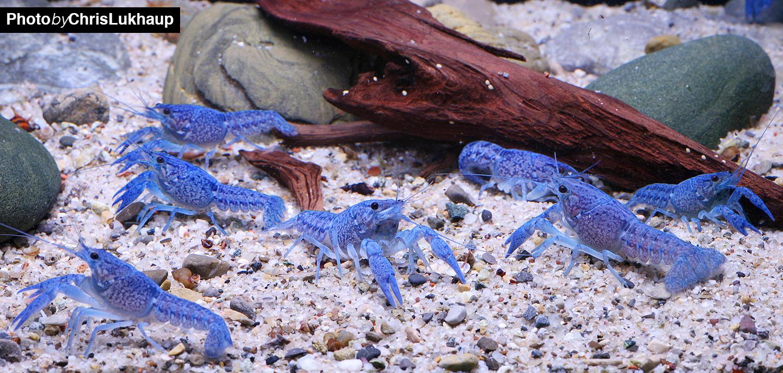 Blaue Floridakrebs - Procambarus alenii