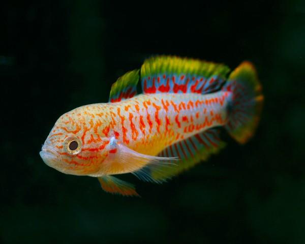 Pastellgrundel - Tateurdina ocellicauda