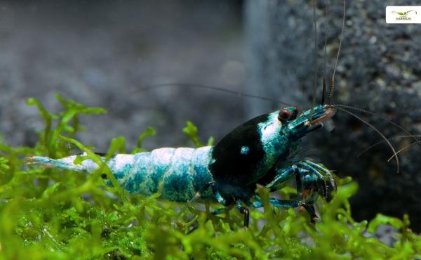 Blue Shadow Mosura - Caridina spec. ( Taiwan Bee )