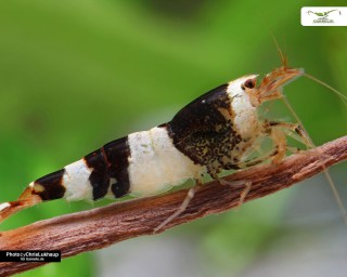Schwarz-weiße Bienengarnele / Black Bee K4/K6 - Caridina logemanni