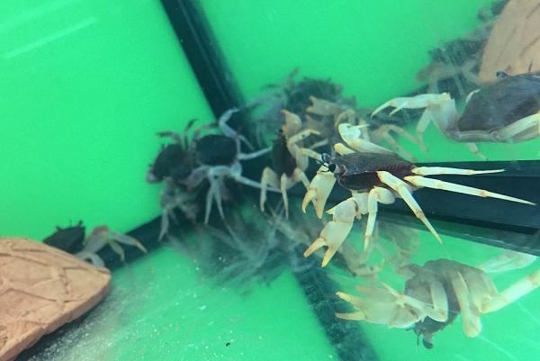 Towuti-Krabbe - Rostbraune Sulawesikrabbe - Parathelphusa ferruginea