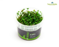 Marsilea angustifolia - NatureHolic InVitro