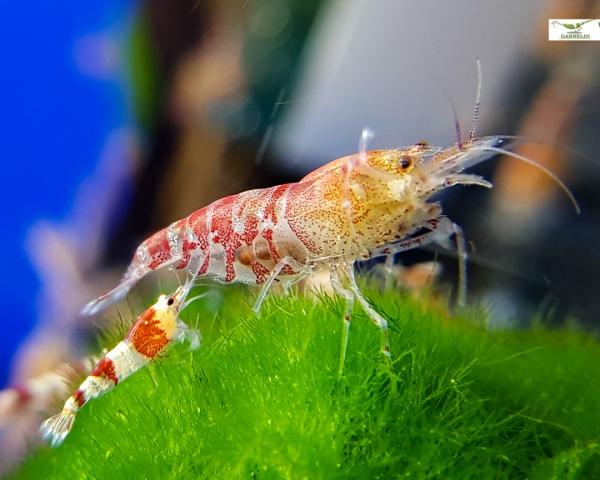 Red Tang Bee - Caridina sp.