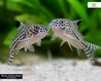 Dreibinden Panzerwels DNZ - Corydoras trilineatus