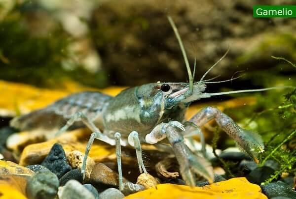 Gelbbandkrebs - Procambarus llamasi