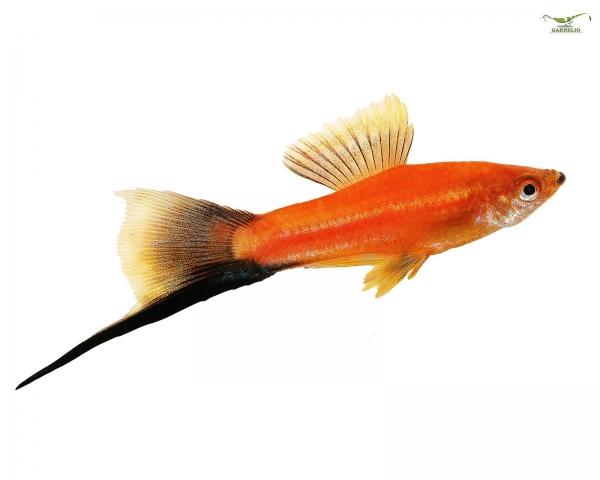 """Schwertträger """"Wagtail-Rot"""" - Xiphophorus helleri"""