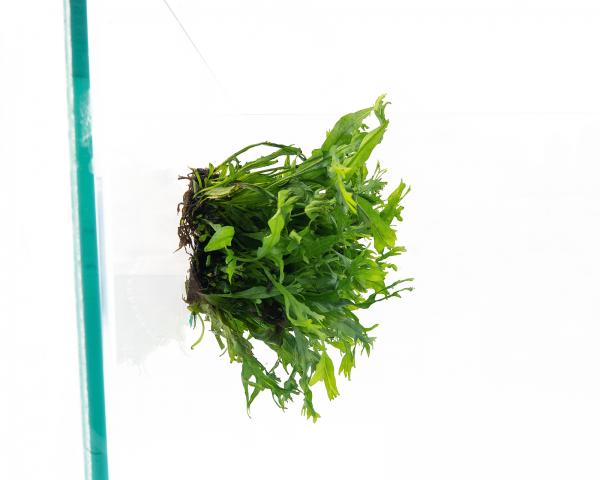Windeløv-Javafarn - Pflanzen Matte mit Saugnapf - Microsorum pteropus Windeløv - 4x13 cm
