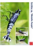 Shrimp King - Garnelen Poster - Chris Lukhaup