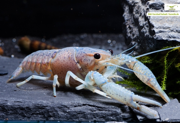 Baby Blue Floridakrebs - Procambarus alleni