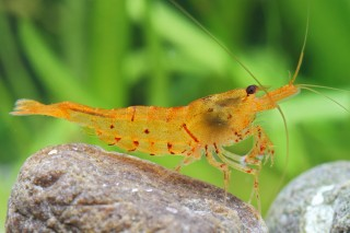 Golden Tiger Shrimp - Tangerine Tiger - Orange Tiger - Caridina cantonensis