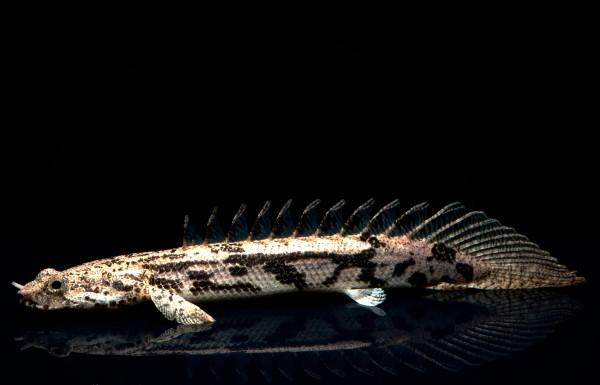 Endlichers Flösselhecht - Polypterus endlicheri - 4cm