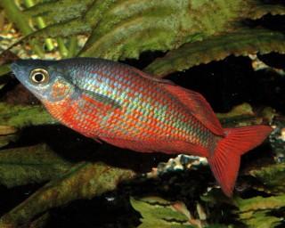 Lachsroter Regenbogenfisch - Glossolepis incisus