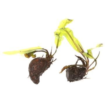 Gewelltblättrige Wasserähre - Aponogeton longiplumulosus - Knolle