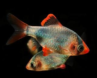 Sumatrabarbe gold/blau - Barbus tetrazona
