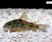 Marmorierter Panzerwels - Corydoras paleatus - DNZ