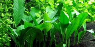 Schmalblättriges Speerblatt - Anubias barteri var. angustifolia - Tropica Topf