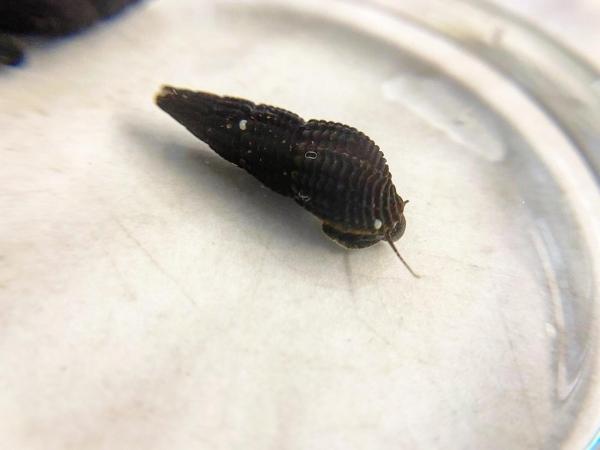Tylomelania sp. Mini Black