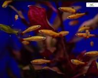 6x Kardinalfisch gold-orange - Tanichthys albonubes
