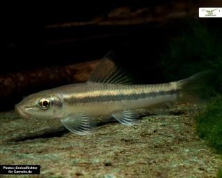 Saugschmerle - Gyrinocheilus aymonieri