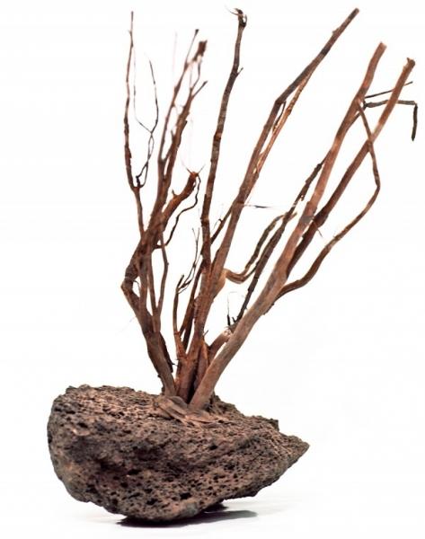 Garnelenbäumchen auf Lava